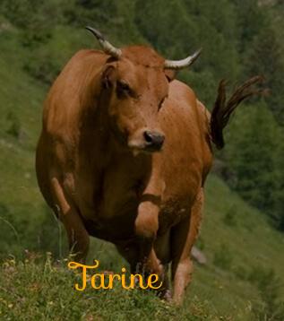 vache tarine