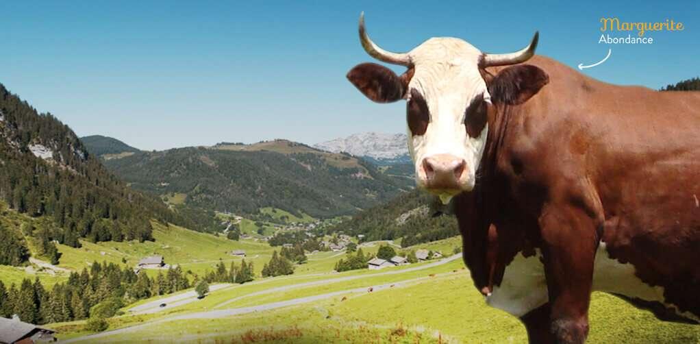 vache abondance pour reblochon