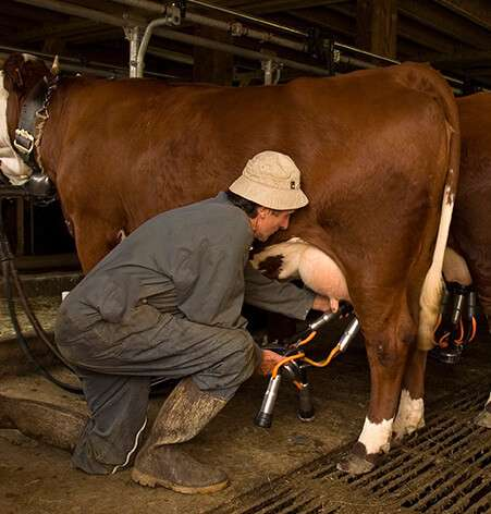 traite vache reblochon