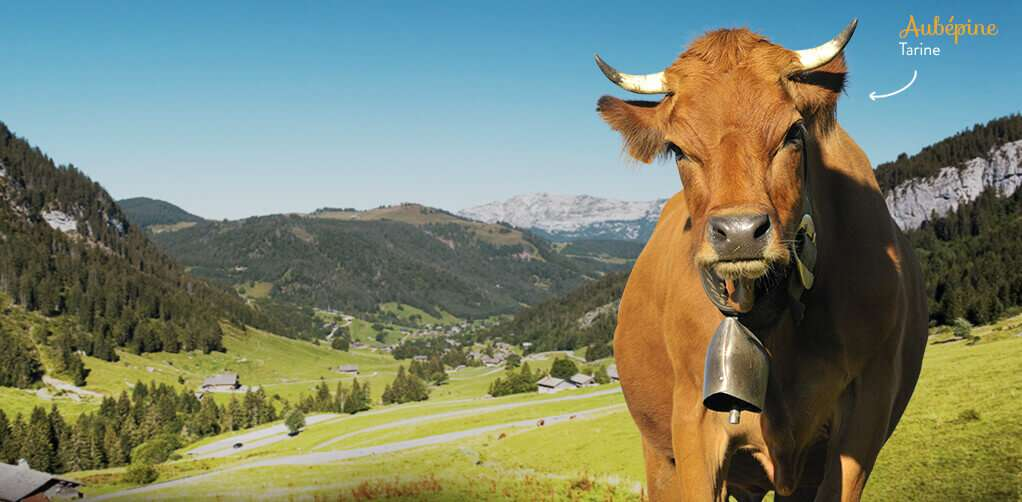 vache tarine pour reblochon