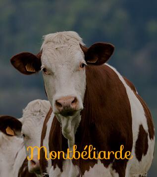 vache montbeliarde
